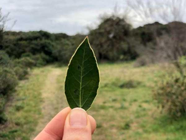 Rhamnus alaternus (Alaterno)